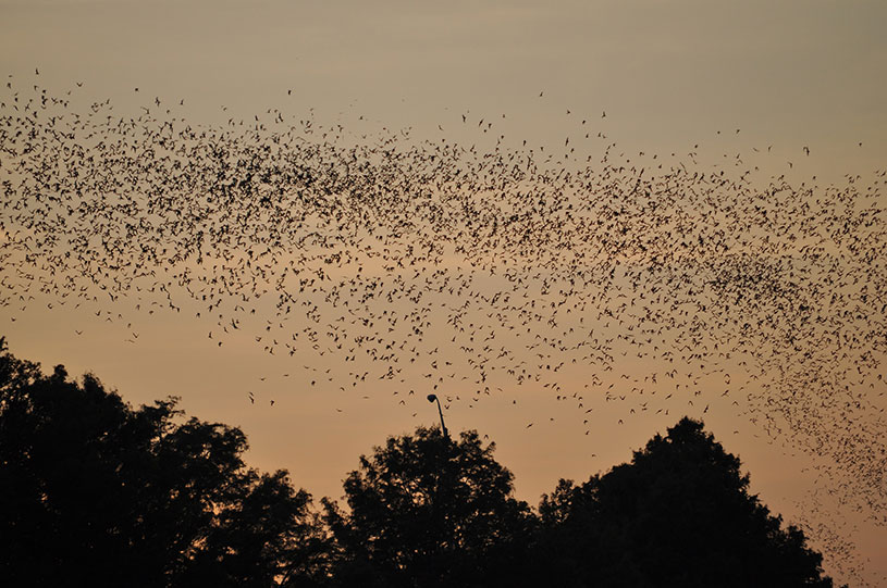 Name:  bats-in-trees-at-sunset.jpg Views: 508 Size:  126.8 KB